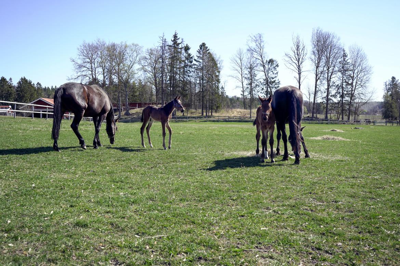 Tittarna får följa fölen och deras mammor genom fyra kameror placerade i Färskhagen, Rasthagen och Bebishagen.  ATG.