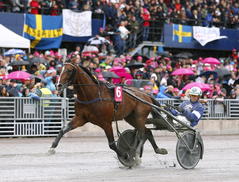 Looking Superb är sjunde häst att bli inbjuden till Elitloppet. Maria Holmén TR Bild.