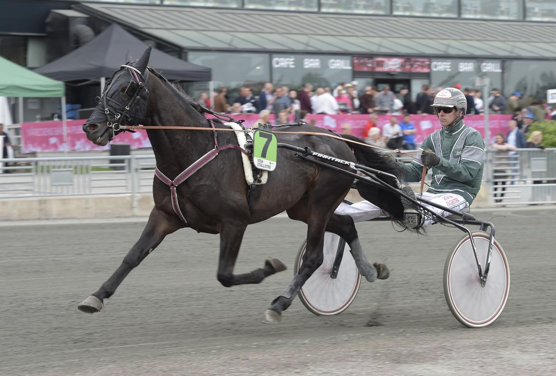 """""""Golden Guard har aldrig förlorat i spets och det är givet att sikta dit även den här gången"""", säger hästens tränare Claes Svensson. Lars Jakobsson TR Bild."""